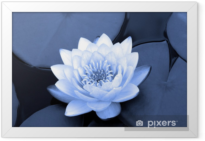 water lily in blue Framed Poster - Themes