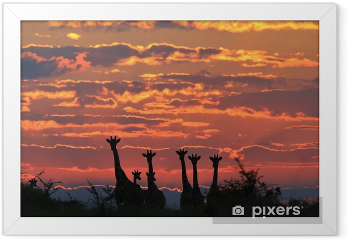 Giraffe Silhouette - African Wildlife Background - Colorful Nature and Majestic Skies Framed Poster - Animals