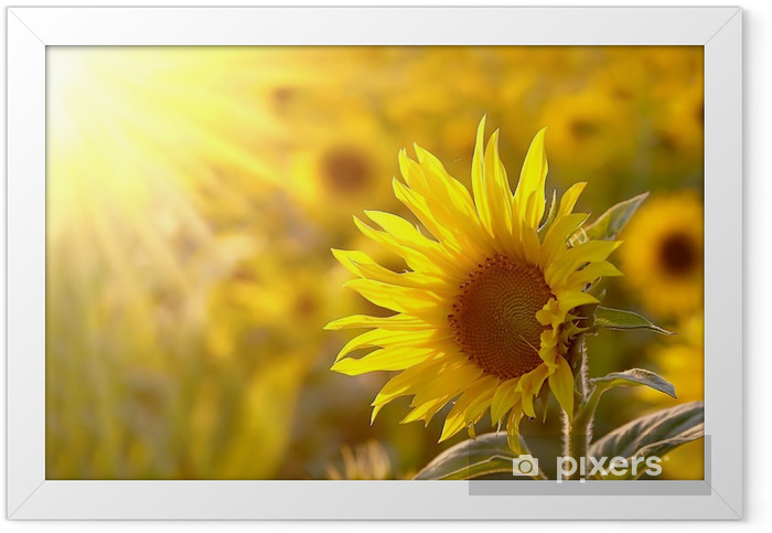 Sunflower on a meadow in the light of the setting sun Framed Poster - Themes