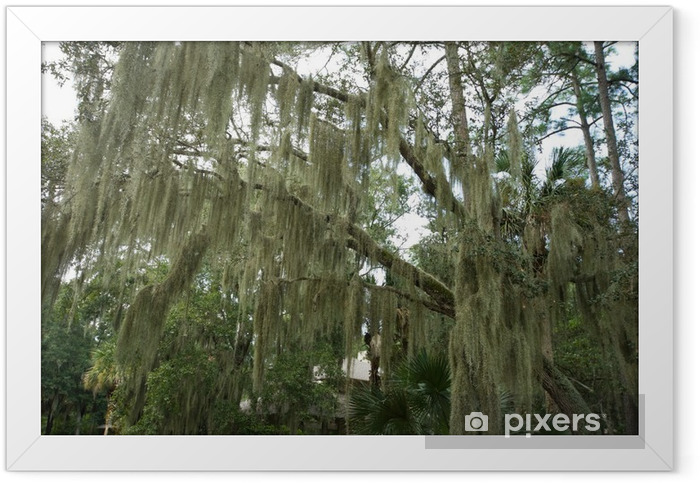 Spanish Moss Hanging from Live Oak, Hilton Head, South Carolina Framed Poster - America