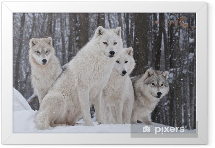 Arctic Wolf Pack Framed Poster - Wolves