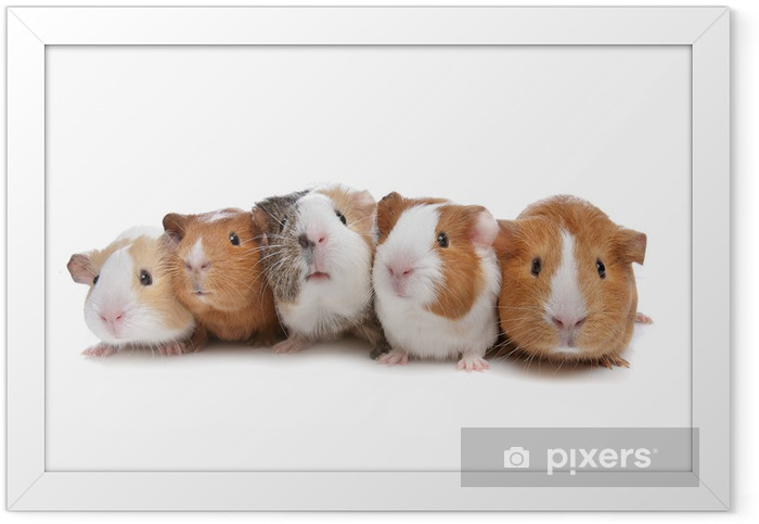 Plakat w ramie Pięć świnek morskich - Ssaki