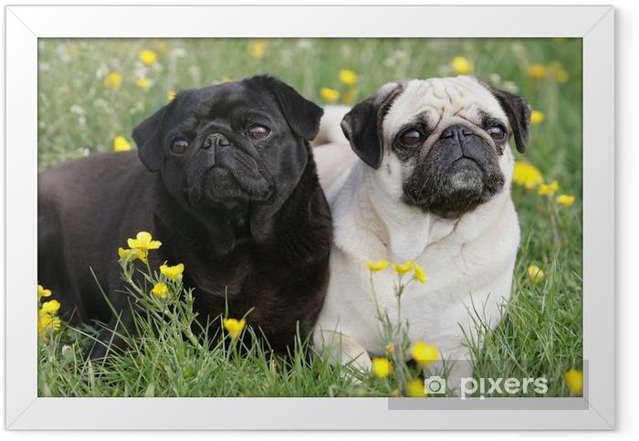Mopspaar Framed Poster - Pugs