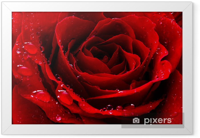 red rose with water drops Framed Poster - Themes