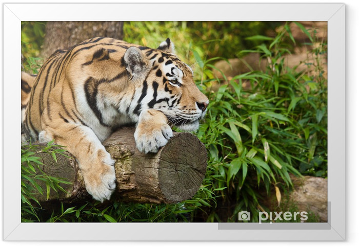 Sibirischer Tiger (Panthera tigris altaica) Framed Poster - Themes