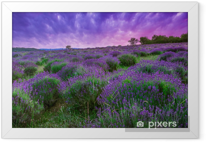 Sunset over a summer lavender field in Tihany, Hungary Framed Poster - Themes