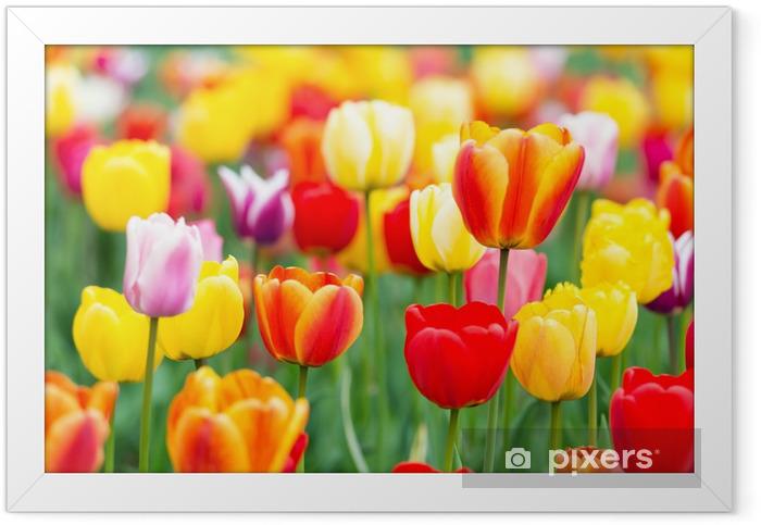 Plakat w ramie Kolorowe tulipany - Tematy