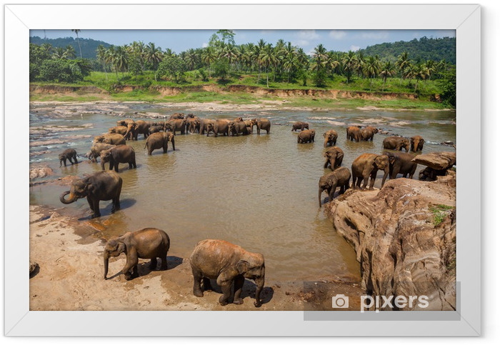 Elephants of Pinnawala elephant orphanage bathing in river Framed Poster - Themes