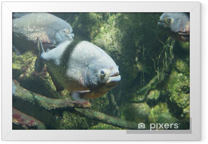 Poster en cadre Nattereri Pygocentrus - Piranha à ventre rouge - Animaux marins