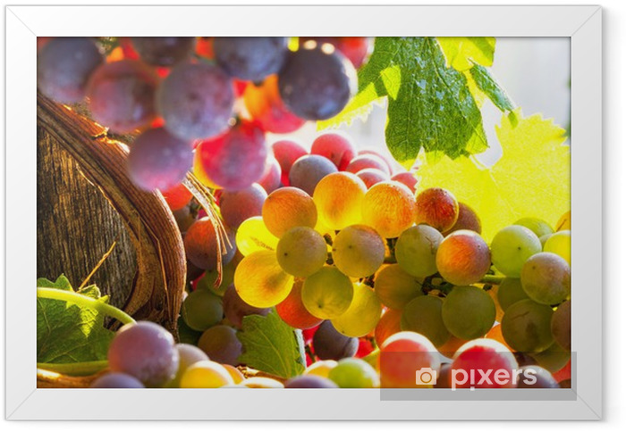 grapes rainbow Framed Poster - iStaging
