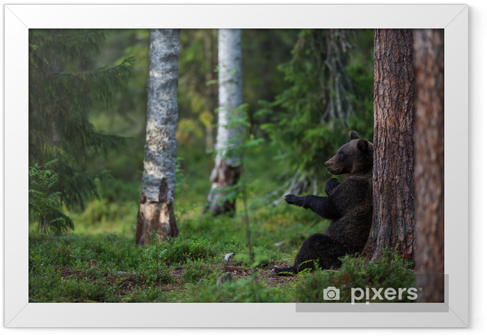 Brown bear in forest Framed Poster - Themes