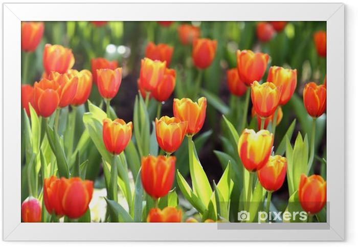 Plakat w ramie Kolorowe tulipanów na tle przyrody - Tematy