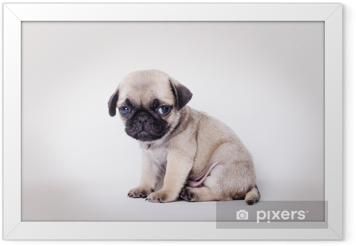 Fawn puppy pug sitting Framed Poster - Pugs