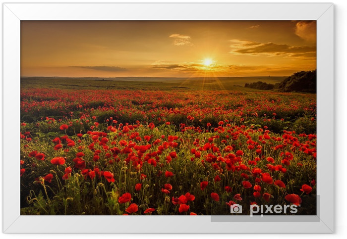 Poppy field at sunset Framed Poster - Meadows, fields and grasses