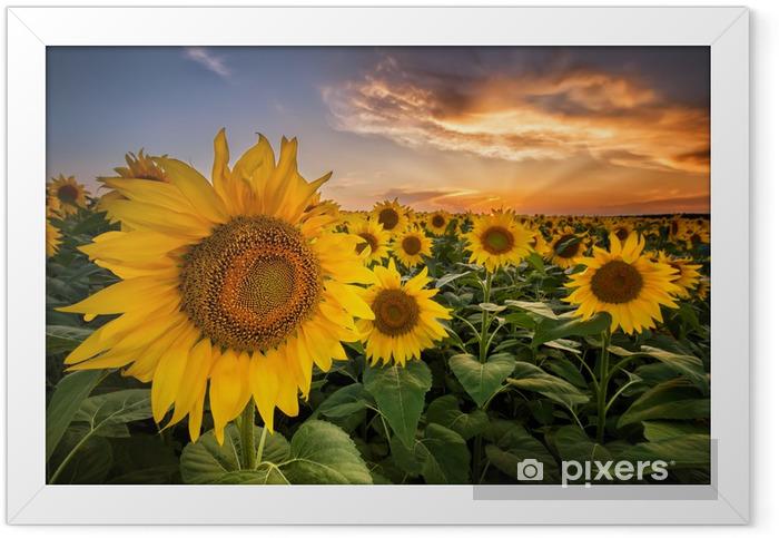 Plakat w ramie Piękny zachód słońca nad polem słonecznika - Tematy