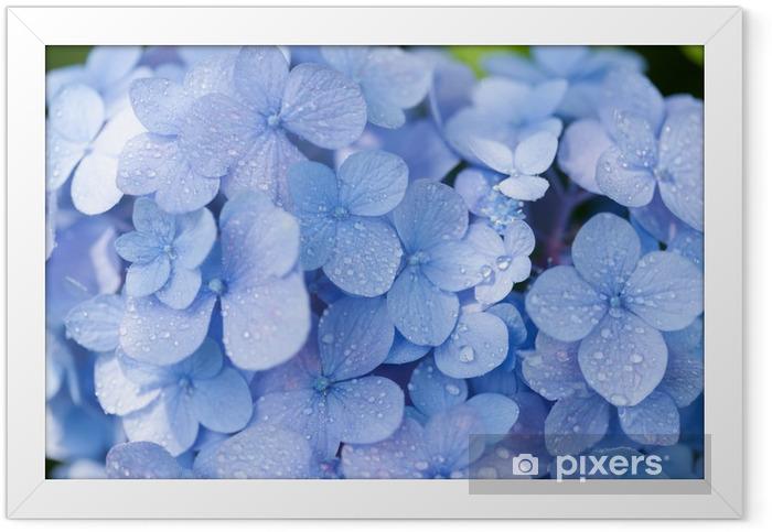 アジサイの花 Framed Poster - Flowers