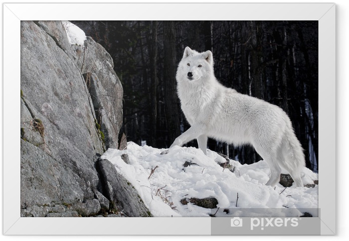 Arctic Wolf Portrait Framed Poster - Themes