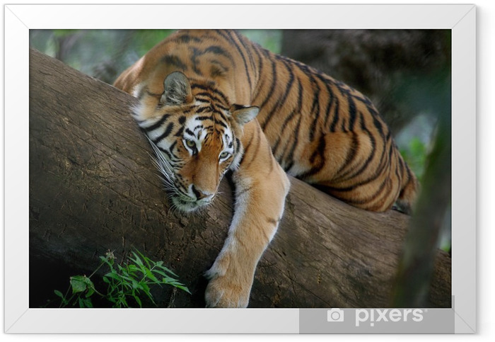 Tiger on tree Framed Poster - Themes