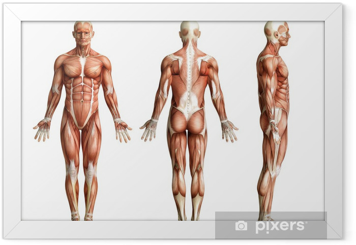 anatomy, muscles Framed Poster - Health and Medicine