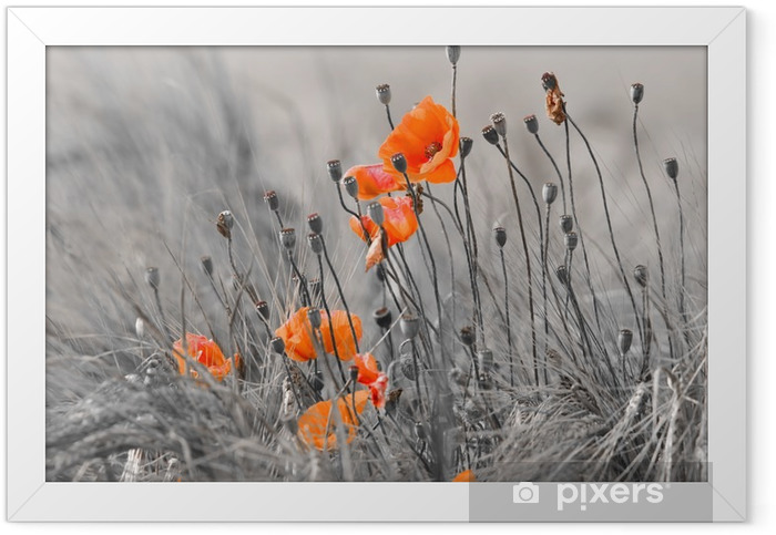 Poppies against a gray background Framed Poster -