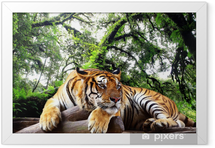 Tiger looking something on the rock in tropical evergreen forest Framed Poster - iStaging