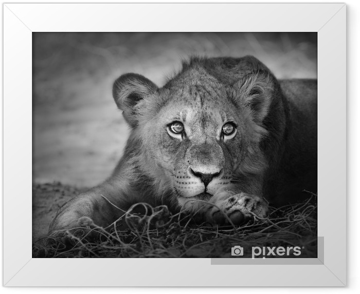 Plakat w ramie Portret młodego lwa -