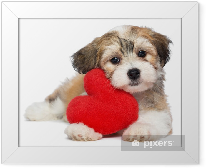 Lover Valentine Havanese puppy dog with a red heart Framed Poster - Wall decals