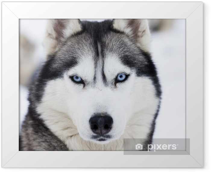 Close up on blue eyes of husky Framed Poster - Husky