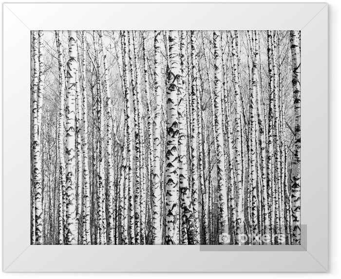 Spring trunks of birch trees black and white Framed Poster - Styles