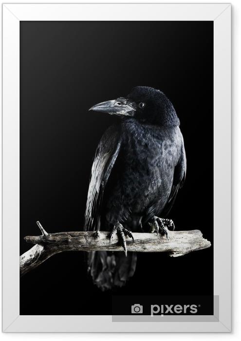 Poster en cadre Corbeau - Oiseaux