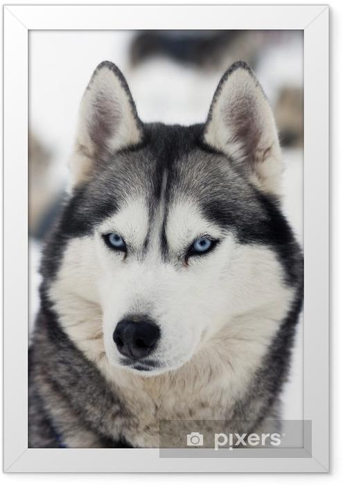 Poster en cadre Husky portrait - Husky