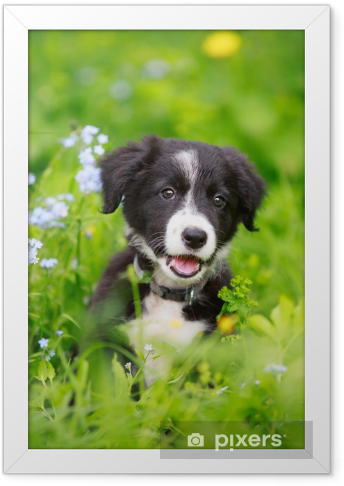 Border Collies black puppy Framed Poster - Themes