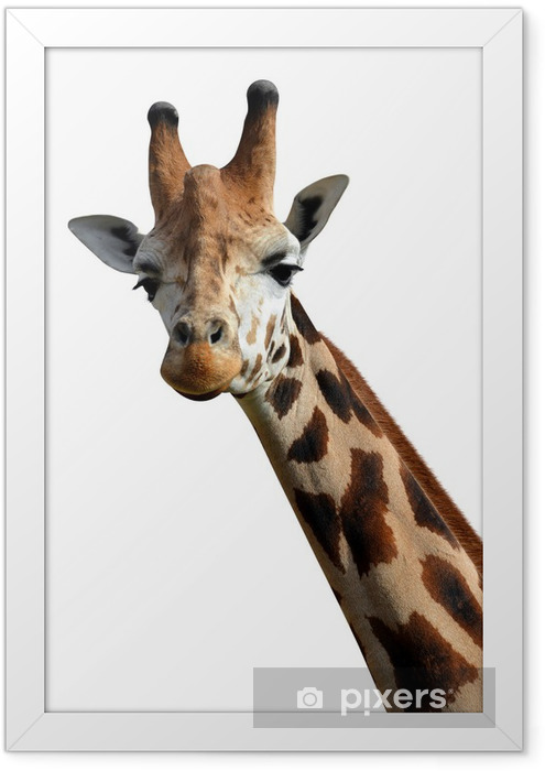 giraffe isolated on white background Framed Poster - Wall decals