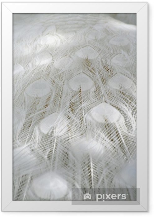 Albino White Peacock Feathers Framed Poster - Birds