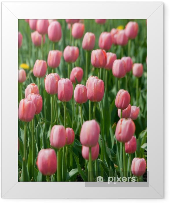 Plakat w ramie Kwitnących różowe tulipany - Tematy