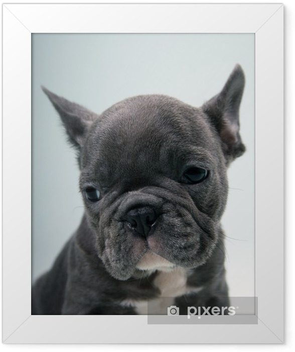 French Bulldog Puppy Portrait Framed Poster - French bulldogs