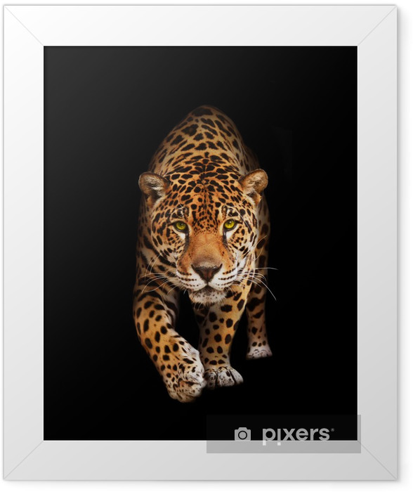 Jaguar in darkness - front view, isolated Framed Poster -