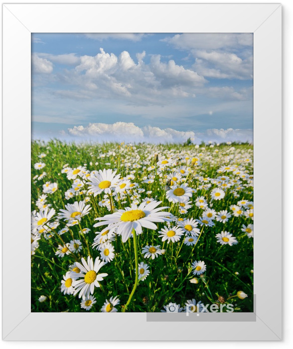 Springtime: field of daisy flowers with blue sky and clouds Framed Poster - Themes