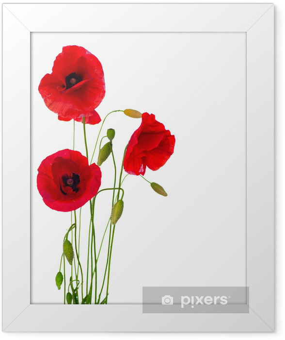 Red Poppy Flower Isolated on a White Background Framed Poster - Destinations