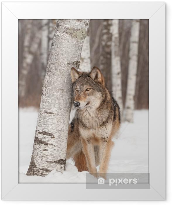 Plakat w ramie Szary Wilk (Canis lupus) stoi obok Birch Tree - Tematy
