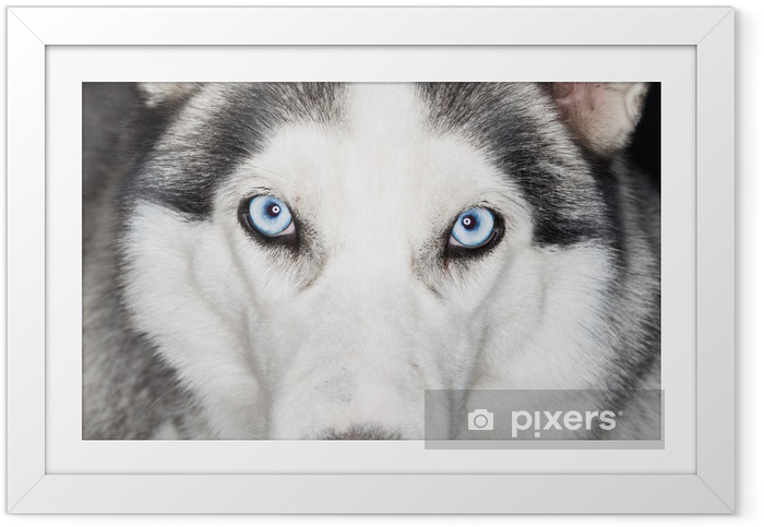 Ingelijste Poster Close-up shot van husky hond - Poolhonden