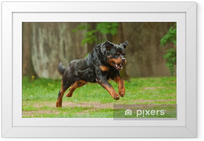 Poster in Cornice Running Dog Rottweiler - Mammiferi