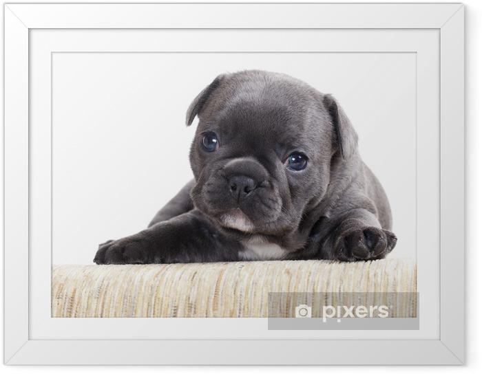 Plakat w ramie Buldog francuski puppy - Buldogi francuskie