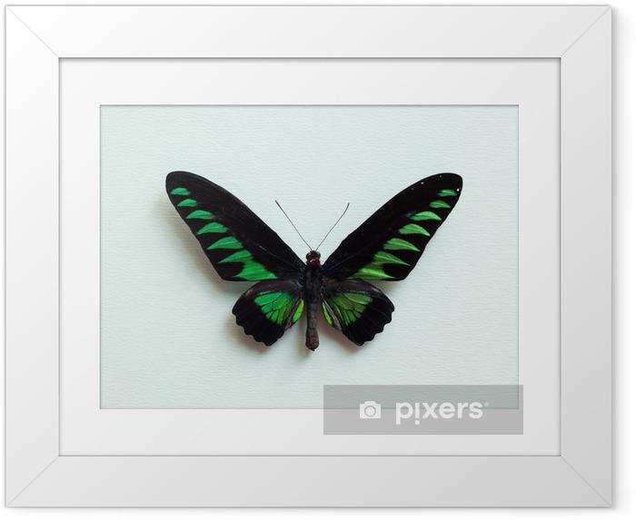 Çerçeveli Poster Tropikal kelebek - Hayvanlar