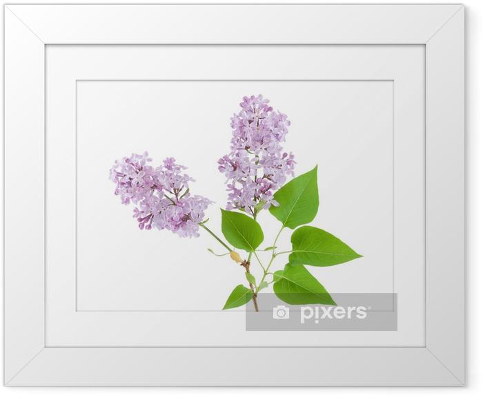 Poster en cadre Lilas - Fleurs