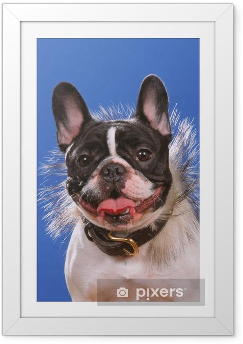 Plakat w ramie Buldog francuski na sobie fantazyjny naszyjnik na niebieskim tle - Buldogi francuskie