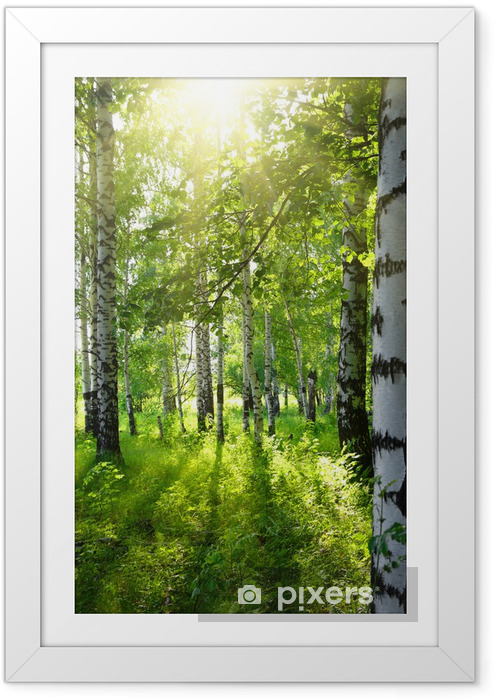 Plakat w ramie Brzozowe lasy z letniego słońca - Przeznaczenia