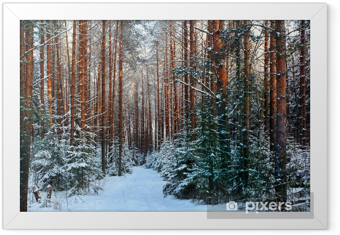 Ingelijste Poster Dennenbos, de winter, sneeuw - Thema's