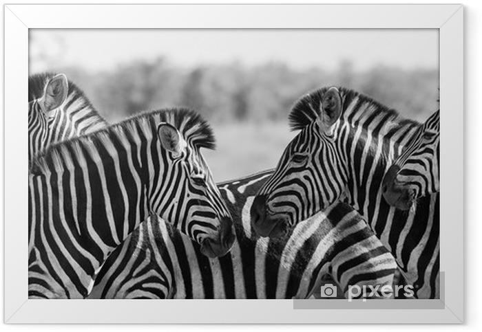 Plakat w ramie Zebra stada w czarno-białe zdjęcie z głowami - Tematy