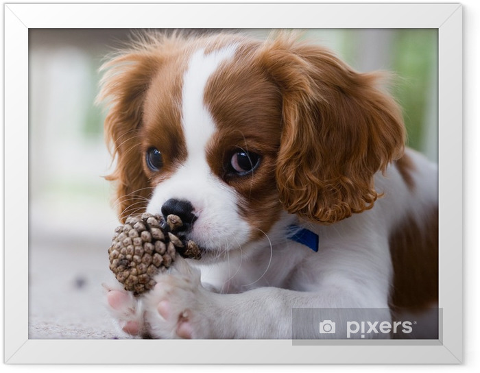 Poster en cadre Cavalier King Charles Spaniel Puppy - Thèmes
